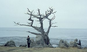 The famous Witch Tree at Pescadero Point, Pebb...