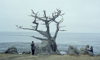 "Pebble Beach, California - Famous ""Witch Tree"" landmark at Pescadero Point, Pebble Beach, September 1962. The tree was blown down by a storm on January 14, 1964."