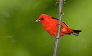 Scarlet tanager species of bird