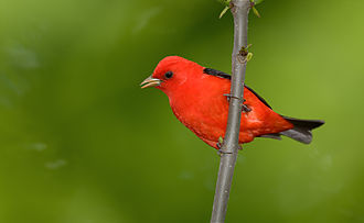 Scarlet tanager - Adult male