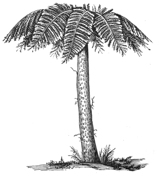 File:AGTM D332 Tree fern.png