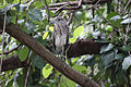 AMA AR PN COSTA03 SANTAY AVITURISMO Yellow Crowned Night Heron 010 (14180198475).jpg