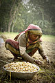 A Bangladeshi woman works on a potato field.jpg