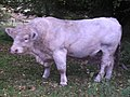 A Bull at Castle Grant Home Farm - geograph.org.uk - 588696.jpg