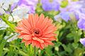 A Daisy flower.jpg