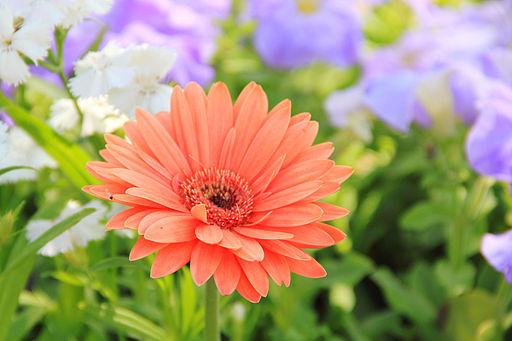 A Daisy flower
