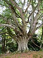 A Layered Beech Tree at Kilravoch Castle - geograph.org.uk - 1512433.jpg