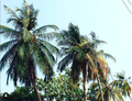 A Sideview of A Palm Tree in Ikoyi, Lagos.png