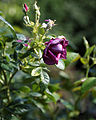 A dark purple rose Capel Manor College Gardens Enfield London England 1.jpg