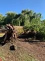 A fallen tree.jpg