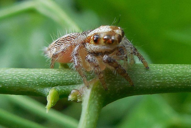 A garden spider in Chennai.JPG