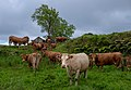 A herd of cows (Bos taurus), Flores, Azores, Portugal (PPL3-Altered) julesvernex2.jpg