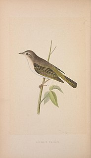 Shade bush warbler species of bird