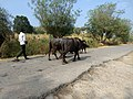 A man herds buffaloes.jpg