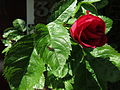 A rose and an insect (16248612506).jpg