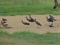 Abdim's Storks (Ciconia abdimii) and Yellow-billed Kites (Milvus aegyptius) (7011309597).jpg