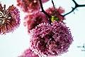 Aberta a temporada de ipês roxos em Brasília (42123176134).jpg