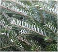 Abies koreana naalden.jpg
