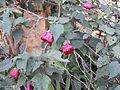 Abutilon hybridum nabob-1-shevaroy nursery-yercaud-salem-India.jpg