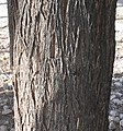 Acacia-occidentalis-bark.jpg
