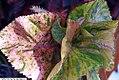 Acalypha wilkesiana Macafeeana 1zz.jpg