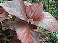 Acalypha wilkesiana macafeana-1-yercaud-salem-India.JPG