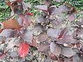 Acalypha wilkesiana moorea-1-yercaud-salem-India.JPG