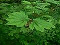 Acer circinatum 10751.JPG