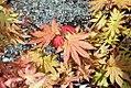 Acer shirasawanum Autumn Moon 2zz.jpg