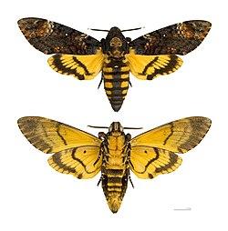 Acherontia atropos MHNT.jpg