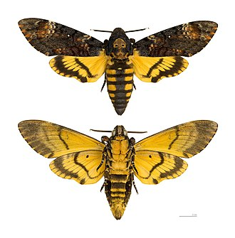 Death's-head hawkmoth - Image: Acherontia atropos MHNT