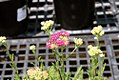 Achillea millefolium Saucy Seduction 2zz.jpg