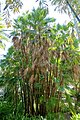 Acoelorrhaphe wrightii - Marie Selby Botanical Gardens - Sarasota, Florida - DSC01438.jpg