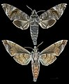 Acosmeryx shervillii MHNT CUT 2010 0 23 Ban Kheum Laos Male.jpg