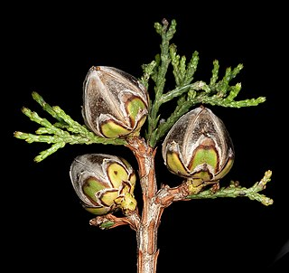 <i>Actinostrobus pyramidalis</i> species of plant