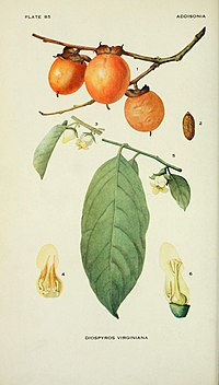 Addisonia - colored illustrations and popular descriptions of plants (1916-(1964)) (16772760115).jpg