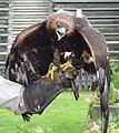 Adler auf Faust 2.jpg