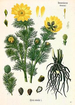 Adonis vernalis - Köhler–s Medizinal-Pflanzen-152