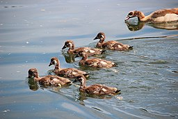Adult-and-egyptian-geese-chicks
