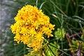 Aeonium flower - 03.jpg