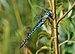 Aeshna affinis qtl1.jpg