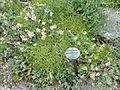 Aethionema grandiflorum - Botanischer Garten, Frankfurt am Main - DSC02642.JPG