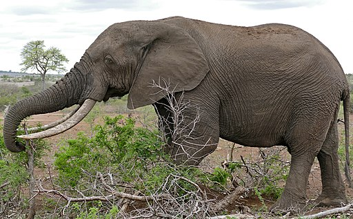 African Elephant (Loxodonta africana) bull browsing ... (32733565643)