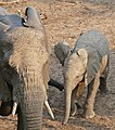 African Elephants (Loxodonta africana) female and young (31482772624).jpg
