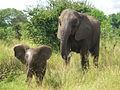 African elephant infant (6987533809).jpg