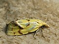 Agapeta hamana - Листовёртка золотистая (40607138984).jpg