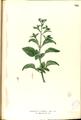 Ageratum conyzoides Blanco2.368-original.png