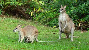 Wallaby - Agile Wallaby family