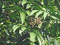 Aglaia spectabilis flowering2376.jpg