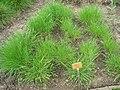 Agropyron cristatum - Berlin Botanical Garden - IMG 8557.JPG